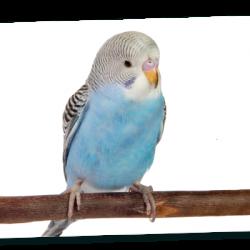 Oiseaux d'ornements