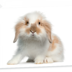 Angora Rabbit - Ram Rabbit